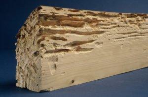 Traitement de la charpente : attention aux dégâts des capricornes